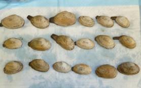 Ученые: заразная форма рака крови выкосила морских моллюсков в Америке