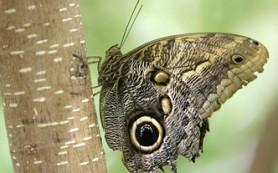 Биологи доказали, что бабочки действительно «срисовали» глаза хищников