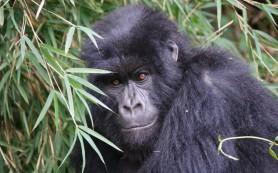 Ученые нашли причину вымирания горных горилл