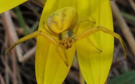 Обнаружены пауки, способные менять свой цвет