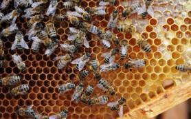 Ученые Башкирии разработали иммунный препарат для замены антибиотиков при лечении пчел