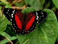 Как бабочки защищаются от хищников