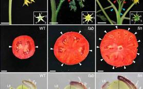 Биологи нашли способ получения овощей-гигантов