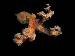 Осьминоги чувствуют свет всей кожей