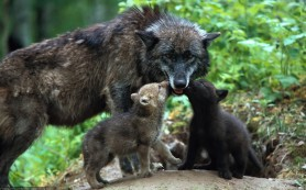 Исследование: волчья стая помогает своим членам бороться с инфекцией