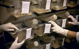 Исследования на мышах: а корректна ли практика?