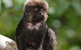Мармозетка Гёльди – одна из самых маленьких обезьянок