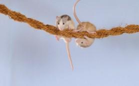 Крысы помогают друг другу
