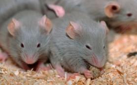 Биологи научились восстанавливать утраченную память