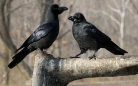 Вороны действительно умеют считать, выяснили нейрофизиологи