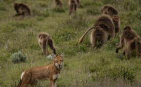 В Африке подружились обезьяны и волки