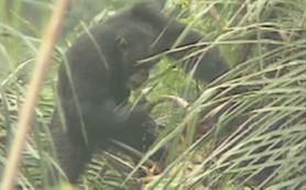 Биологи уличили шимпанзе в пьянстве