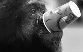 Шимпанзе не прочь выпить