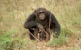Шимпанзе любят готовить
