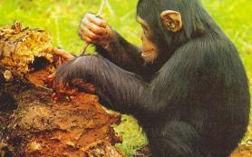 Шимпанзе инстинктивно используют орудия труда