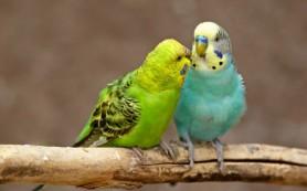 Волнистые попугайчики заражают друг друга зевотой