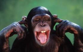 Шимпанзе оказались любителями выпить