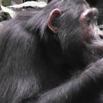Ученые: шимпанзе едят глину для очистки организма от токсинов