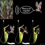 Как хищные растения подружились с летучими мышами