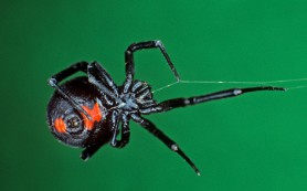 Зачем кавалеры чёрных вдов разрушают паутину самок
