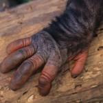 Человеческая рука оказалась древнее обезьяньей