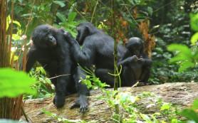 Антропологи нашли некое подобие «речи младенцев» среди шимпанзе-бонобо