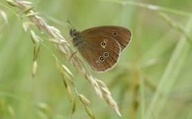 Часть бабочек может полностью вымереть к 2050 году, заявляют ученые