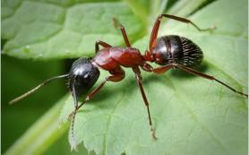 Гусениц обвинили в том, что они зомбируют муравьев