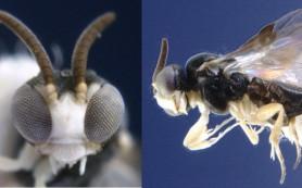 Биологи открыли вид ос, превращающих пауков в послушных «зомби»