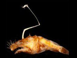 В океанических глубинах найден морской черт