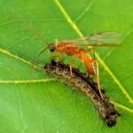 Наездники-«биотехнологи» редактируют геном гусениц