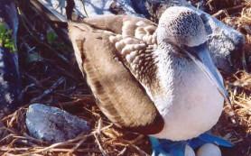 Олуши «красят» яйца, чтобы защитить их от хищников