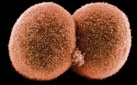 Почему эмбрион не путается в генах