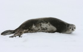Дельфины и тюлени живут с сердечной аритмией
