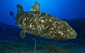 Рыба латимерия, «живое ископаемое», имеет рудиментарные легкие