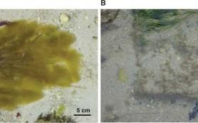 Бурые водоросли не подтверждают экологическую гипотезу чередования гаплоидной и диплоидной стадий