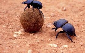 Орехи с плохим запахом обманывают жуков-навозников