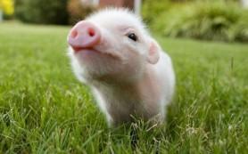 Как сделать свиные органы безопасными для человека