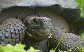 Ученые обнаружили новый вид галапагосских черепах