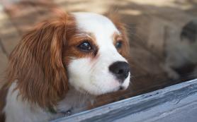 Биологи выяснили, что собак одомашнили в Азии, а не в Европе
