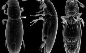 Биолог из МГУ уточнил размеры самого маленького в мире жука