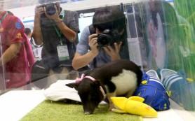 Китайские генетики создали новый вид домашних свиней