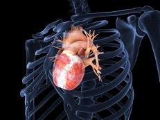 Ученые создали сердце из губки