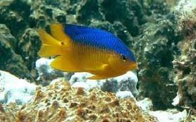 Рифовые рыбки научились стравливать хищников «криками о помощи»