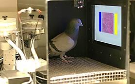 Голуби оказались отличными онкологами