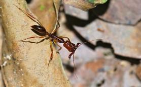 Как прыгают муравьи