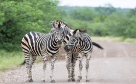 Полоски зебр оказались никудышной маскировкой