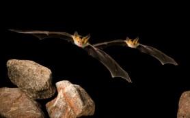 Летучие мыши стараются перекричать друг друга в толпе
