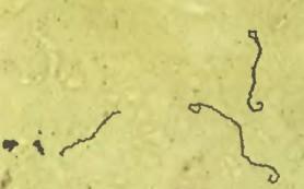 Почему бактерии Leptospira такие устойчивые
