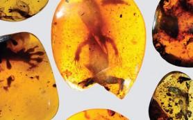 Палеонтологи нашли в янтаре древнейшего хамелеона
